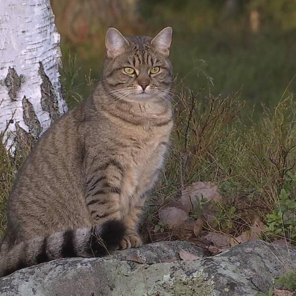 En katt sitter och spanar ut över naturen