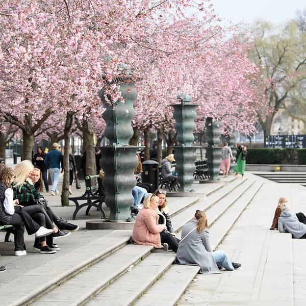Tjejgrupper sitter i trappen och på parkbänkar i kungsträdgården under körsbärsträden. Den andra bilden visar en gräddtårta.