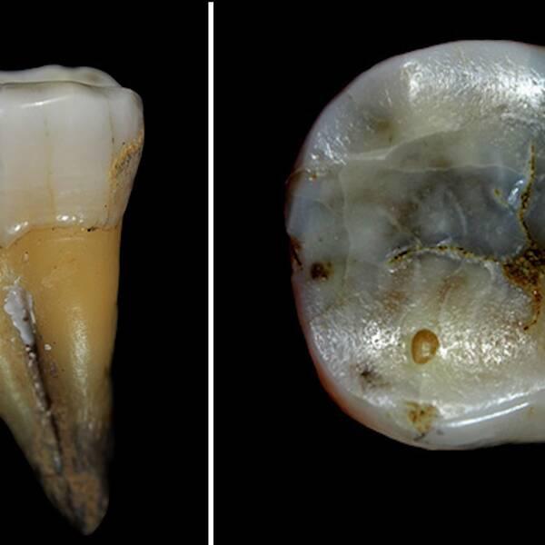 En 46000 år gammal tand har hittats i en grotta i Bulgarien.