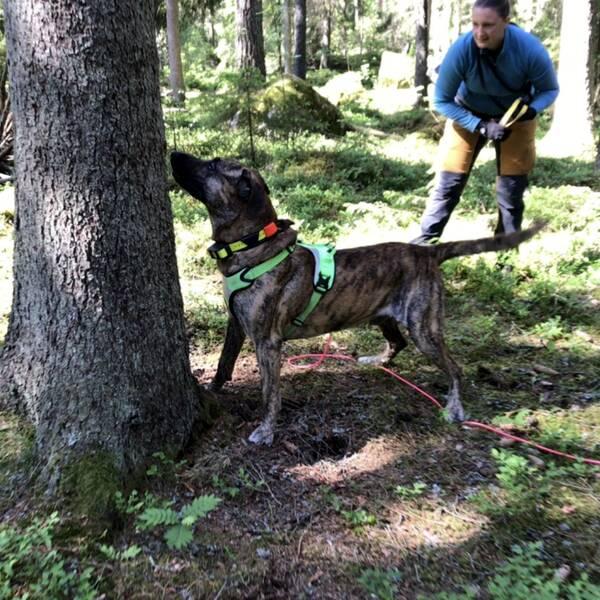 Barkborrehundarna är specialutbildade till att känna och lokalisera dofterna som insekterna avsöndrar.