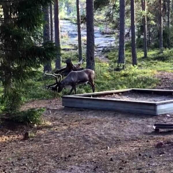 En ren betar i ett skogsparti i närheten av en camping.