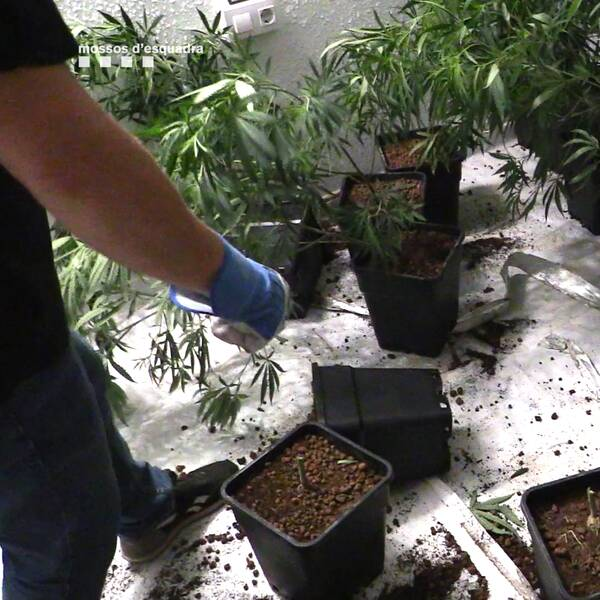 Det kriminella nätverket hade flera marijuana-planteringar inhus runt om i Katalonien.
