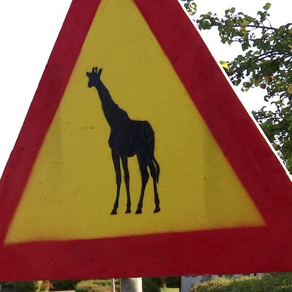 Häng med på giraffjakt.