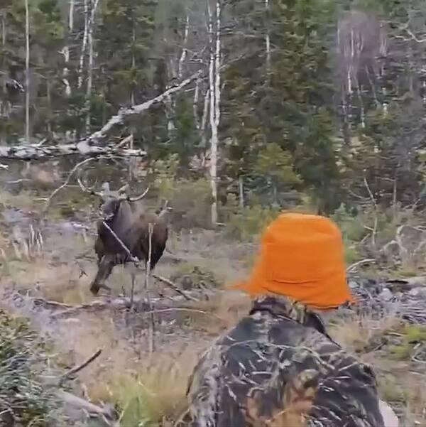 Bild på älgtjur som rusar mot en jägare som sitter.