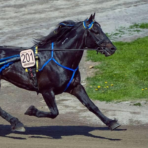 Travhästen Järvsöfaks har avlivats.