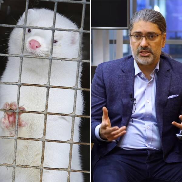 Fladdermus, mink och Ali Mirazimi, professor i virologi.
