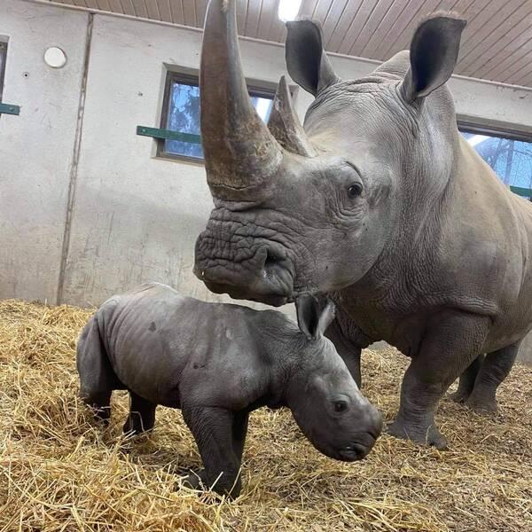 En noshörningskalv och hans mamma