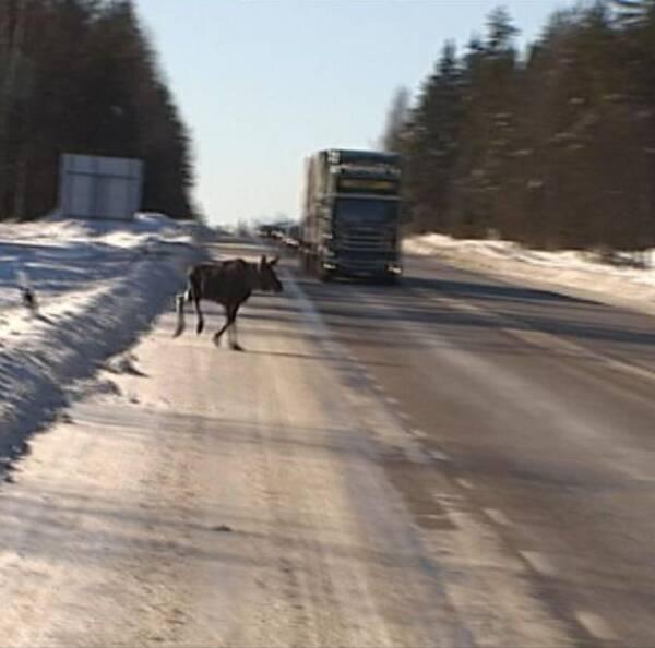 en älg som springer över vägen framför en lastbil, snö på sidorna