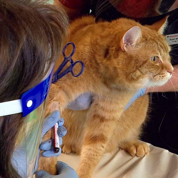 En röd katt på hos veterinären
