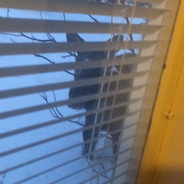 En älg tittar in genom fönster