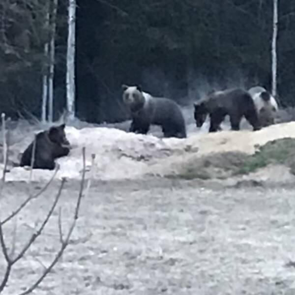 fyra björnar som nosar i högar i skogskanten på en tomt
