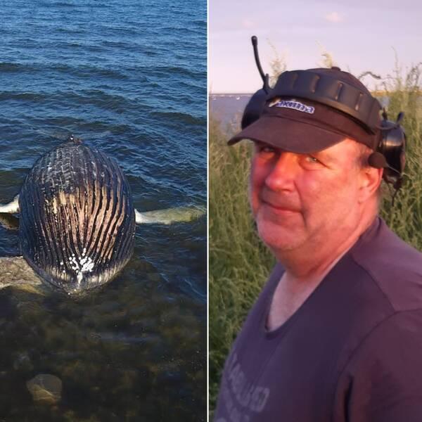 Bilden är ett collage. I mitten är en porträttbild på Peter Johansson som äger marken där den strandade knölvalen ligger. De övriga två bilderna är bilder på en död knölval och Peter Johanssons mark.
