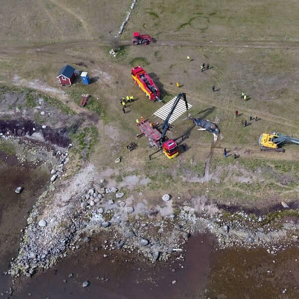 Drönarbild från Mellby när en strandad knölval drogs upp på land.