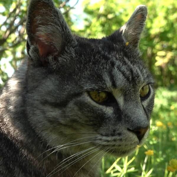 Delad bild. Till vänster gråspräcklig katt i gröngräset. Till höger fästing i ett plaströr.