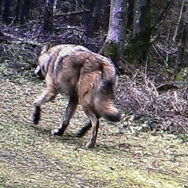 Man i rutig skjorta bredvid bild på varg som går genom skogsområde.