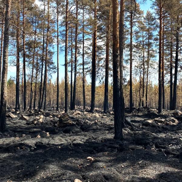 Tallskog där marken och stammarna är brandskadade efter en skogsbrand.