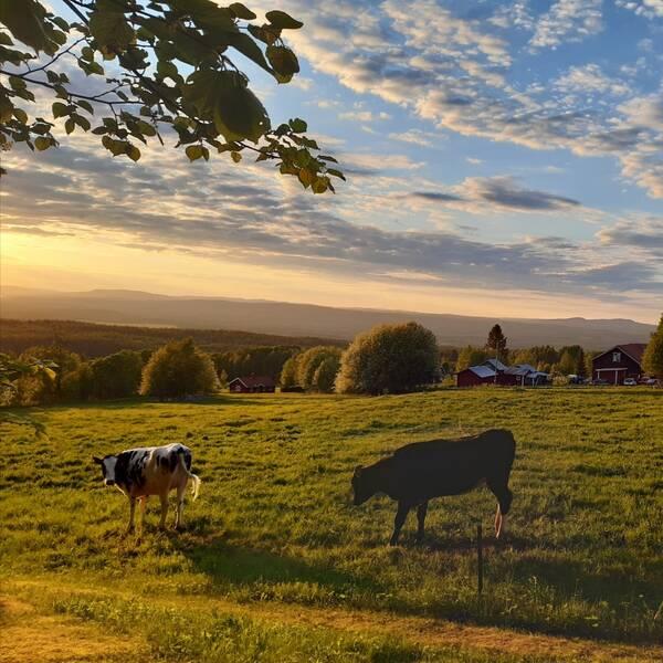 Ett gäng kor som står och betar en sommarkväll i kvällsljus i Orsa