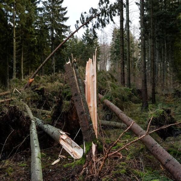 Stormfälld skog efter stormen Gorm. Träd knäckta i vinden.