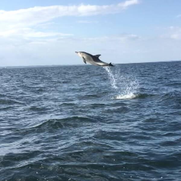 Delfin siktad i Öresund.