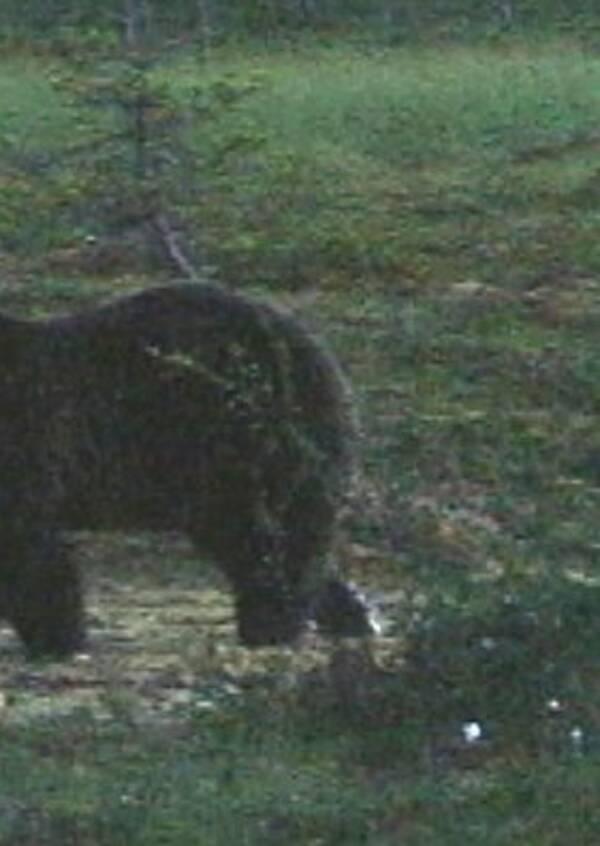 björn på myr i skymning