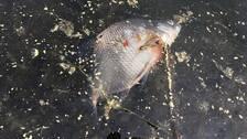Fiskdod langs olands kuster