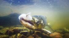Laxfisk med svampangrepp ligger i vattenbrynet i Dalälven.