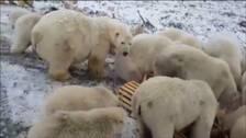 Irbjörnar som invaderat ryska staden Belusja Guba.
