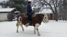 Frida Olofsson rider på oxen Skalman