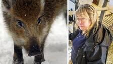 Collage, ett vildsvin och Lotta Zetterlund, ombudsman på LRF.