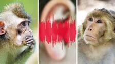 Tre bilder. I mitten syns bilden på ljudspår och ett öra. Till höger och vänster syns bilder på apor eller makaker. Spela klippet för att höra hur musikaliska toner låter för en makak.