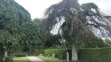 almsjuka, almar, kyrkogård, Bredåkra kyrkogård, träd, gravplats, gravar