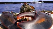 Havsforskare polisanmaler hummerfynd