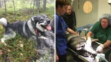 Jämthunden Pil skadades svårt i en vargattack för två år sen. Nu är han igång och jagar med Anders Berg.