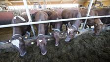 mjölkkor på lösdrift i ladugård äter på rad