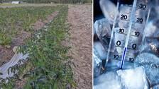 Ett potatisland där det växer grön blast med svarta toppar. Till höger en termometer nedstucken i is som visar nollgradigt.