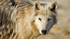 En vit varg