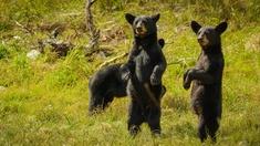 Mexikanska svartbjörnar (Ursus americanus)