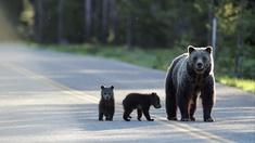 Nere i Europa är brunbjörnens återkomst en stor händelse.