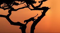 Leopard i ett akaciaträd.