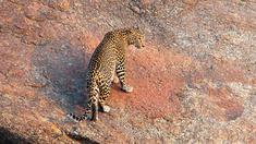 Leoparder är enstöringar och jagar ensamma medan lejonen samarbetar. Men det finns undantag. I nordvästra Indien finns några berg där leoparderna lever tätt inpå varandra utan konflikter och i fred med människorna och deras boskap där nedanför.