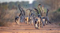 Ringsvanslemurerna på Madagaskar.