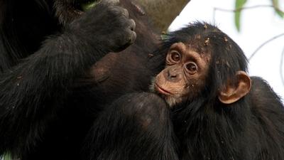5. Andy och chimpanserna