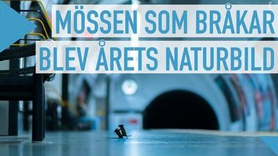 Årets naturbild: Möss som bråkar