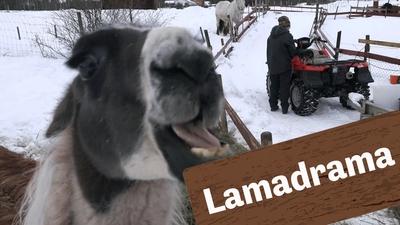 Lamadrama