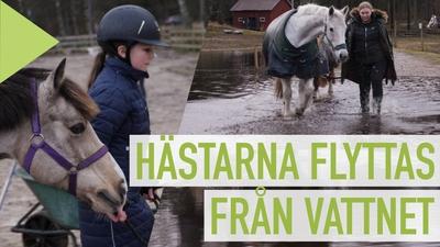 Hästar flyttas från övervämningar