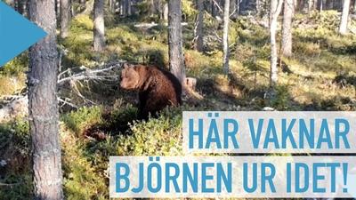 Här vaknar björnen ur sitt ide