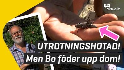 Bo föder upp gräshoppor i Motala