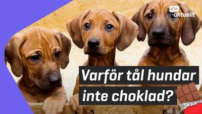 Lilla luskar: Kan hundar äta choklad?
