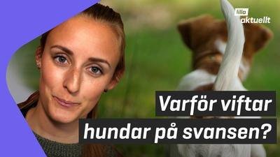 Lilla luskar: Varför viftar hundar på svansen?