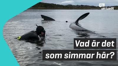 Stor haj fastnade utanför Göteborg